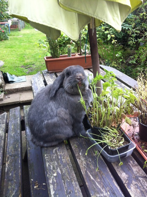 rabbit-loss